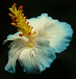 "3"" HIBISCUS FOAM FLOWER-White w/ Blue Tips"