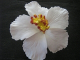 "3"" HIBISCUS FOAM FLOWER HAIR PICK Aloha White"