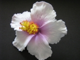 "3"" HIBISCUS FOAM FLOWER HAIR PICK"
