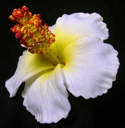 "3"" HIBISCUS FOAM FLOWER -White w/ Yellow Center"