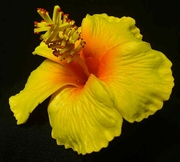 "3"" HIBISCUS FOAM FLOWER- Yellow w/ Red Center- Pick"