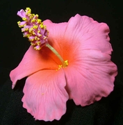 "3"" HIBISCUS FOAM FLOWER-Sherbet Pink w/ Red Center"