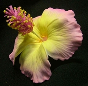 "3"" HIBISCUS FOAM FLOWER HAIR CLIP or PICK"