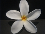 "5 ""STAR POINTED PETAL PLUMERIA FLOWER HAIR PICK Aloha White"