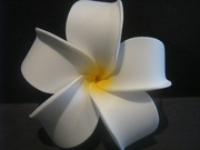 4 Inch Pointed Petal Plumeria Flower- Aloha White w/ Yellow Hub