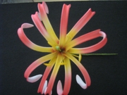 "4""  SPIDER LILY ROLLED DOUBLE PETAL PICK- Red w/ Yellow Center"