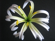 "4""  SPIDER LILY ROLLED DOUBLE PETAL PICK- White w/ Green Center"