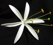 "4.5""  SPIDER LILY STRAIGHT SINGLE PETALS PICK-White"