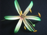 "4.5""  SPIDER LILY STRAIGHT SINGLE PETALS PICK-Green"