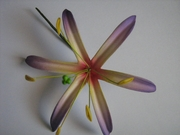 "4.5""  SPIDER LILY STRAIGHT SINGLE PETALS PICK-Purple & Yellow"