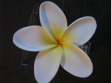 "3"" STAR POINTED PETAL PLUMERIA FLOWER HAIR PICK White w/ Yellow Center"