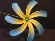 "4"" TAHITIAN GARDENIA TIARE  Pick- Blue Tips w/ Yellow Center"