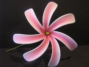 "4"" TAHITIAN GARDENIA TIARE  Pick-White w/ Pink Dashes"