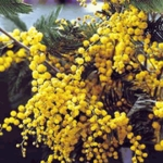 100 Seeds Silver wattle ACACIA DEALBATA