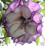10 Seeds Datura fastuosa 'Double Purple trupet flower