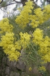 50 Seeds Black wattle ACACIA mearnsi