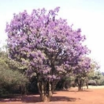 10 Seeds BOLUSANTHUS speciosa African Wisteria tree