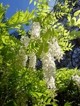 10 Seeds Wisteria sinensis (Chinese Wisteria)