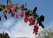20 Seeds Berberis amurensis barberry