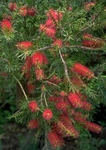 100 + Seeds CALLISTEMON citrinus Red Bottlebrush
