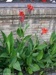 "100 Seeds CANNA indica ""Indian shot"""