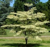 15 Seeds Cornus controversa Giant Dogwood