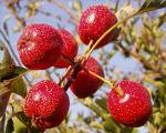 15 Seeds Crataegus pinnatifida Hawthorn BERRY