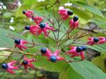 20 Clerodendrum trichotomum harlequin glorybower Seeds