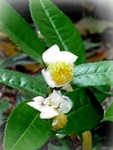 150 Seeds CAMELLIA sinensis , Tea Seeds
