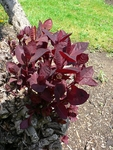 25 Seeds Cotinus coggygria 'Royal Purple' - purple smoke bush