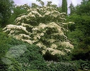 25 Cornus Kousa CHINESE DOGWOOD Tree Seed