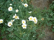 50 Seeds Chrysanthemum cinerariaefolium PYRETHRUM (seed)