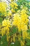 "50 Seeds CASSIA fistula ""Golden shower"""