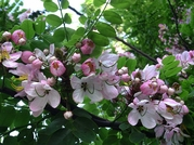"50 Seeds CASSIA javanica ""Pink and white Shower tree"""