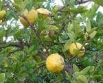 10 Citrus limettioides 'Sweet Lime Lemon Tree Seeds -