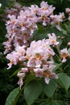 50 Seeds Catalpa fargesii Chinese Bean Tree. Seeds