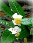 500 Seeds CAMELLIA sinensis , Tea Seeds