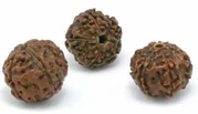 10 Seeds ELAEOCARPUS ganitrous The Rudraksha Tree.