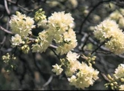 5 Seeds Dombeya tiliacea forest wild pear Cape Wedding Flower
