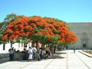 50 Seeds Delonix regia Royal poinciana,