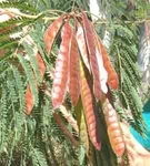 100 Seeds LEUCAENA leucocephala Lead Tree