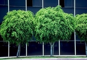 100 Seeds FICUS benjamina Weeping Fig