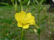 500 Seeds Oenothera biennis Common evening primrose