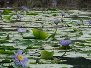 100 Grams Blue Lotus Petals Nymphaea caerulea