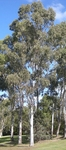Forest Red Gum Eucalyptus tereticornis Seeds