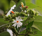 50 Seeds Nyctanthes arbor-tristis (Night-flowering Jasmine)