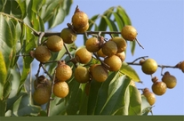 25 Seeds Sapindus mukorossi Ritha ( Soap Nut Tree )