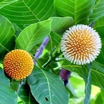 500 Seeds Anthocephalus chinensis Laran Tree of Sabah kadam
