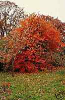 10 Seeds Nyssa sinensis Chinese Tupelo Tree seeds