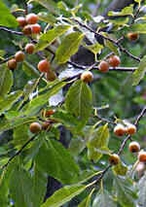 10 Seeds Diospyros lotus The Date Plum Free Shipping